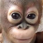Sikerült megmenteniük az állatvédőknek a sokat szenvedett kis orangutánt – megható videó a felépüléséről