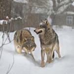 Photo: Visszahódították a vadállatok Csernobil környékét