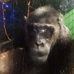 Visszanyerte szabadságát az utolsó német cirkuszi csimpánz
