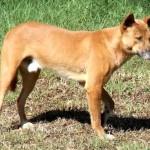 Dingók ellen építették fel a világ leghosszabb kerítését