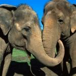Nem felejtenek – több mint 20 év után találkozott újra a két cirkuszi elefánt