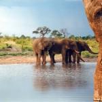 Ciánnal öltek meg elefántokat két zimbabwei nemzeti parkban