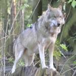 Megszökött egy farkas a Pécsi Állatkertből