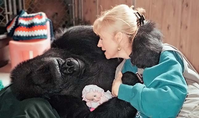 gorilla-11