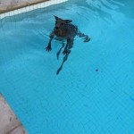 Belógott egy családi ház medencéjébe egy hűsölni vágyó kenguru
