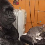 Kiscicákat fogadott örökbe Koko, a világhírű gorilla