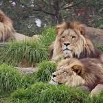 Most egy oroszlánt fognak felboncolni a látogatók előtt a koppenhágai állatkertben