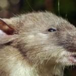 Különös kinézetű patkányfajt fedeztek fel Indonéziában