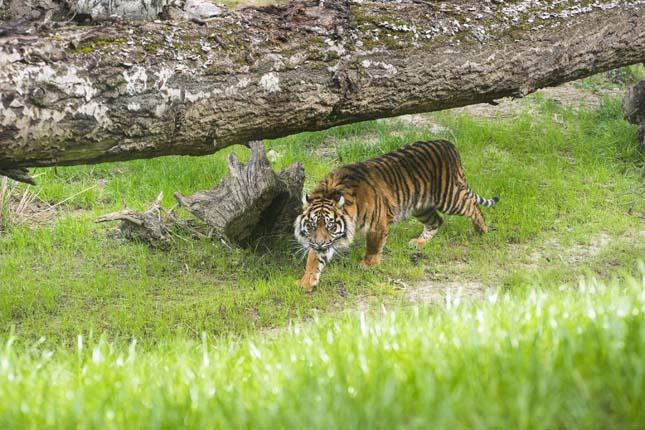 szumatrai-tigris-4