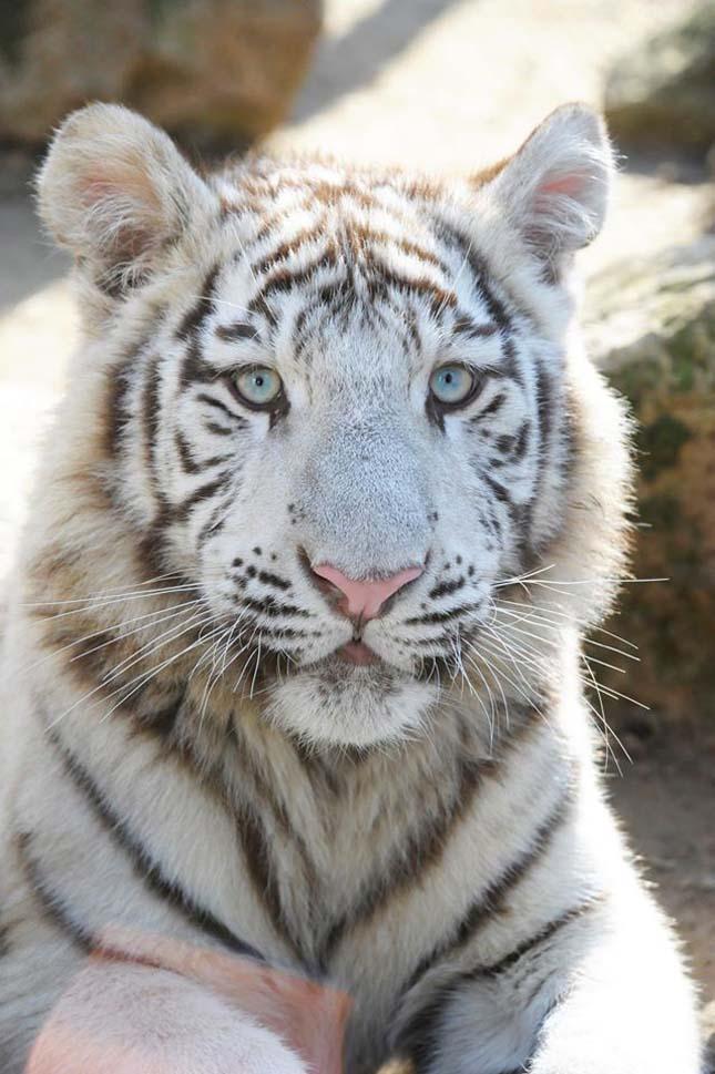 tigris-3