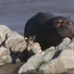 Egy víziló mentette ki a folyóból a fuldokló zebracsikót