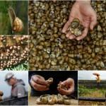 Így tenyésztik a csigákat a csigatenyésztő gazdaságokban