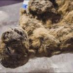 Photo: Tízezer éves mumifikálódott oroszlánkölyköket találtak