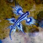 Kék sárkány – Egy különleges kinézetű apró tengeri élőlény