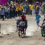 Bivalyverseny a rizs betakarításának ünnepén