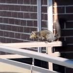 21. emeletről ugrott le egy mókus, de túlélte a zuhanást [videó]