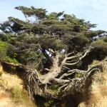 Az élet fája – az életéért küzdő fa, amelyet csak néhány gyökere tart