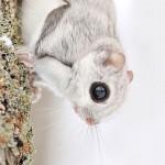 A legaranyosabb vadon élő állat, a japán repülő mókus