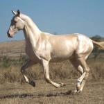Photo: Egy különleges szépségű ló, az Akhal-teke