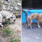 Kórosan sovány a pekingi állatkert oroszlánja