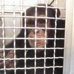 Vége az amerikai csimpánzkísérleteknek