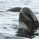 Delfinek vetődtek partra Franciaországban, többségüket már nem tudták megmenteni