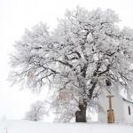 Egy több mint 300 éves molyhos tölgy lett az év fája