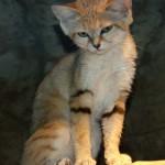 Photo: 21 gyönyörű és ritka macskaféle, amit kevesen ismernek