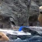 Így segített anyukája a bajba jutott jegesmedvebocsnak