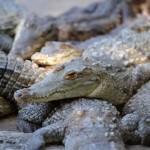Több ezer krokodilt fenyeget az éhhalál a pénzmosással vádolt bankárcsalád farmján