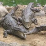 Krokodilokkal őriznék a halálsorra került rabokat Indonéziában