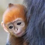 Különleges színű, ritka kismajom született egy ausztrál állatkertben