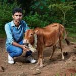 Indiában él a világ legalacsonyabb  tehene