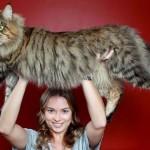 Photo: Egy kedves óriás - a Maine Coon macska