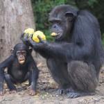 Sorsára hagyták az egykori laborartóriumi csimpánzokat egy libériai szigeten