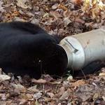 Vadőrök szabadították ki a medvét, akinek egy tejeskannába szorult a feje