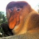 A világ egyik legfurcsább kinézetű állata – a borneói nagyorrú majom