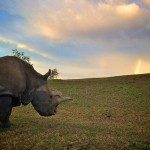 Photo: Már csak három északi szélesszájú orrszarvú maradt a világon