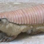Egy különös kinézetű aprócska állat – a kis páncélos egér
