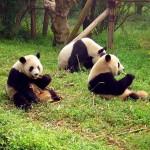 Fény derült a pandák kommunikációjának titkaira