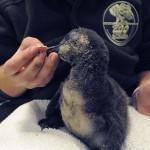 Gondozó nevel egy legyengült pingvinfiókát a Szegedi Vadasparkban