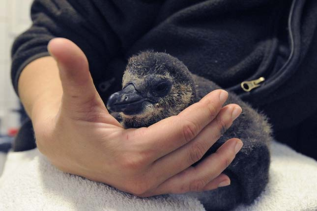 Gondozó nevel egy pingvinfiókát a szegedi vadasparkban