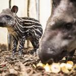 Tapírbébi született a Nyíregyházi Állatparkban