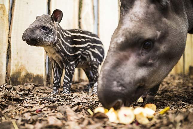 Egyhetes tapír a Nyíregyházi Állatparkban