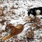 Tigris zsákmány lett volna a kecskéből, de a két állat inkább összebarátkozott