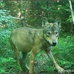 Ismét videóra vették Zselykét, a magyar farkast