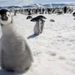 Gyönyörű fotók a pingvinek különleges világáról