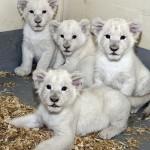 Hófehér oroszlánkölykök születtek a torontói állatkertben [videó]