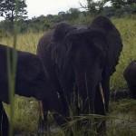 Erdei elefántokat és más, eddig sosem látott állatfajokat örökítettek meg a háború sújtotta Dél-Szudánban