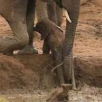 Így segítettek kiszabadulni a felnőttek a gödörbe ragadt kiselefántnak